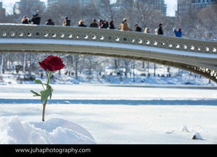 A snow rose in Central Park