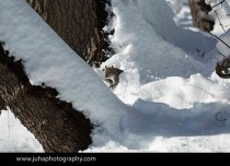 squirrel looking for nuts under the snow blanket in Central Park