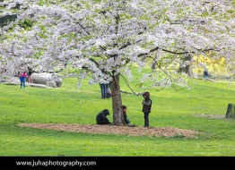 Kids playing under a cherry tree