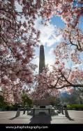 Magnolia trees around Cleopatra's Needle