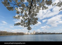Cherry blossom by the Jaqueline Onassis water reservoir