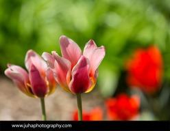 Tulips at the Shakespeare Garden