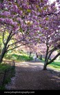 Kwanzan Cherry blooms on the west side of Central Park