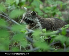 A raccoon peaking out of the bushes in Central Park's ramble