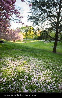 cherry petals covering the ground from cherry tree