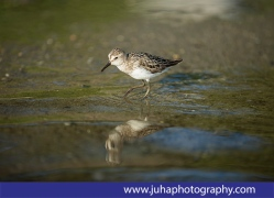 A sanderling