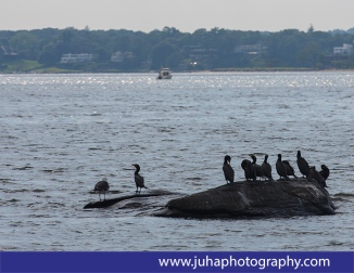 Cormorants near Great Captain Island