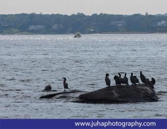 Cormorants near Great Captain Island
